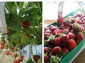 fraises, fraises