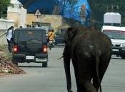 éléphants sèment panique Mysore