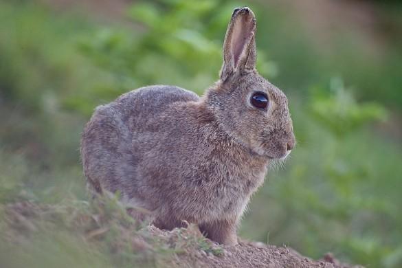Super defi semaine 8 oreille fendue le lapin vigile - Cuisiner un lapin de garenne ...