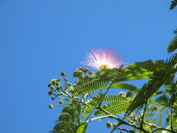 Arbre à soie, arbre de … joie. A partager sans modération