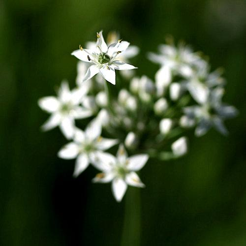 Garlic_Chives_by_InadesignDeviantArt.jpg