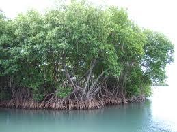 planete urgence mangroves