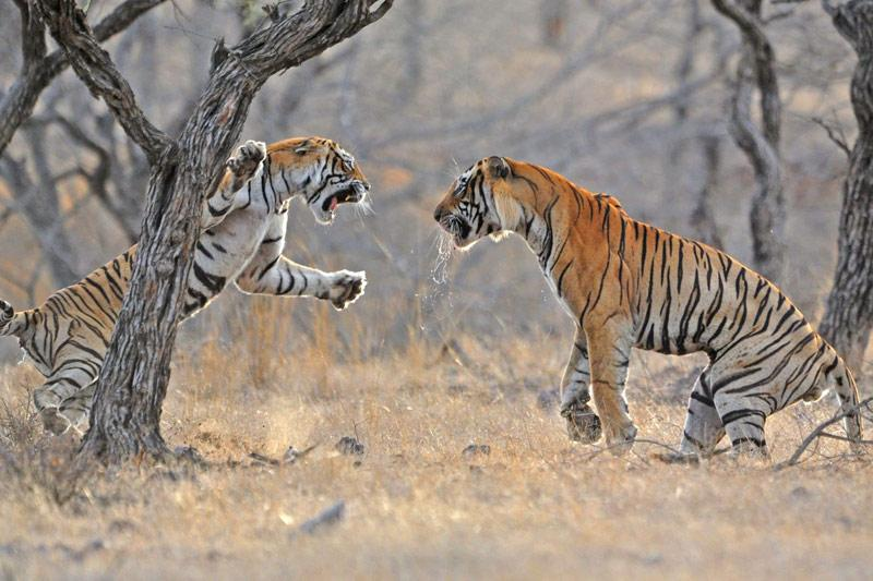 Combat. Dans la réserve de Sariska, située au Rajasthan, en Inde, ces tigres laissent éclater leur rage. Ici, ces prédateurs carnivores se disputent un cerf, qui représente les trois quarts de leurs menus. Solitaire, ce prédateur n'aime pas partager, surtout entre mâles…