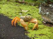 Crabe endémique de l'Ile del Coco