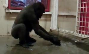 Zola le gorille qui danse
