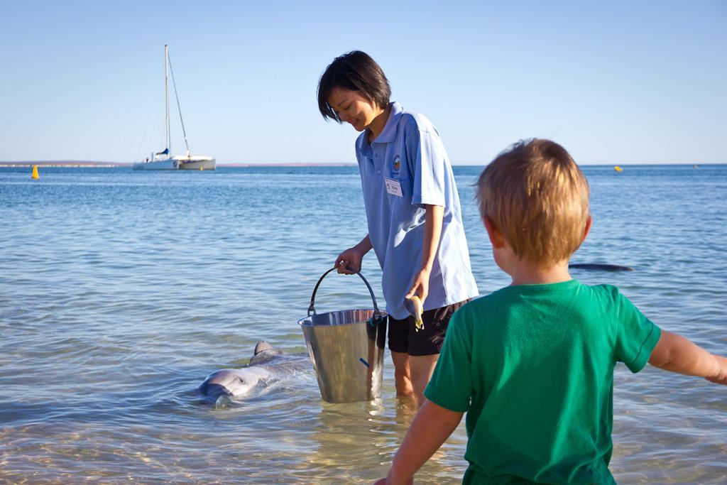 J52 / Scène de vie : Nourrir les dauphins de Monkey Mia