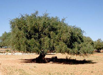 L'huile d'argan, une alliée précieuse et nourrissante pour la pousse des cheveux.