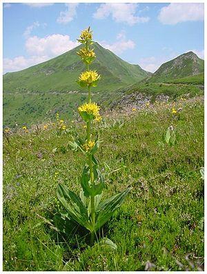 Yellow gentian near Puy de Sancy