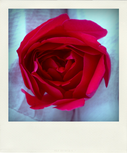 ROSES ROUGES (2)