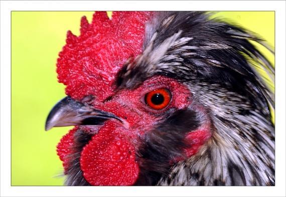 poules, coqs, volaille, basse-cour, volatiles