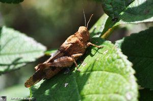 Oedipoda germanica-2