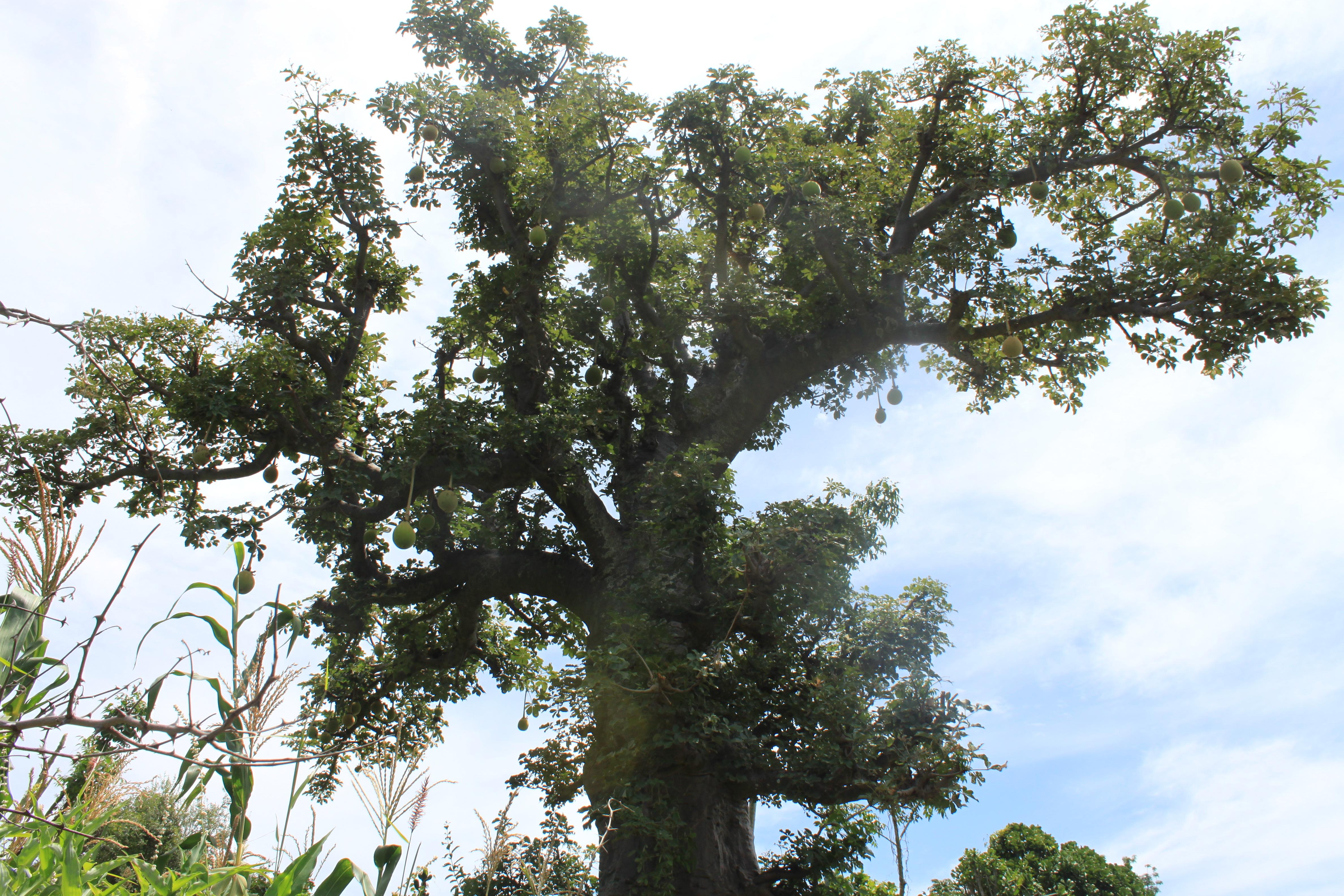 http://upload.wikimedia.org/wikipedia/commons/b/b6/Baobab_with_fruits_in_Cameroon.JPG