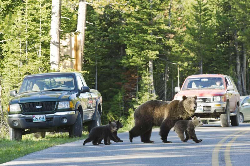 <b></div>Même pas peur</b>. Ici, les grizzlys sont l'attraction touristique. Cette femelle plantigrades et ses petits se sont, comme à l'accoutumée, aventurés, mercredi dernier, dans les rues du parc national de Grand Teton, situé au nord-ouest de l'État du Wyoming aux Etats-Unis. Ce parc, fait partie du Greater Ecosystem, immense territoire où les bisons, les grizzlys et de nombreuses autres espèces sauvages peuvent jouir de l'un des derniers grands espaces intacts d'Amérique du Nord.
