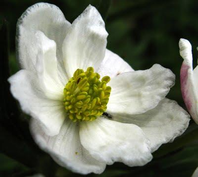 Anemone narcissifolia (Anemone narcissiflora)
