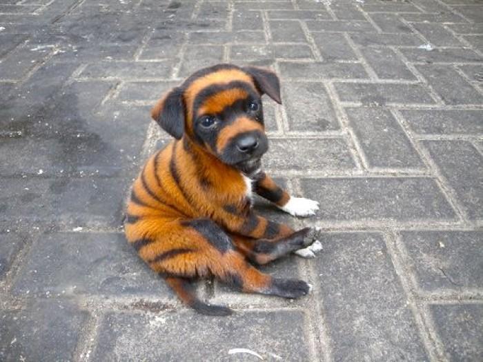 chow chow ou panda tigre ou labrador chacun se fera son idee
