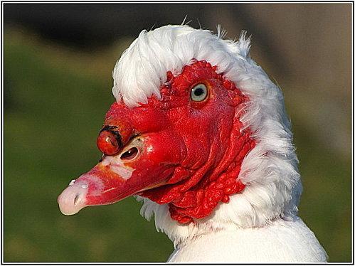 Le canard de barbarie blanc paperblog - Comment cuisiner le canard sauvage ...