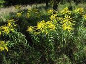Plantes invasives bords Moselle