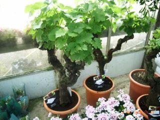 Pieds de vigne en pot lire for Cep de vigne decoration