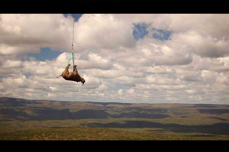 <b>Un rhinocéros passe...</b> Endormi, les yeux bandés, ce rhinocéros sud-africain de près d'une tonne et demie est l'un des tout premiers de son espèce à profiter d'un baptême de l'air en hélicoptère. Un voyage également offert à 18 autres de ses congénères par des scientifiques du WWF. L'enjeu ? Les conduire vers des régions inaccessibles dans l'espoir de les protéger des braconniers. Car le massacre des rhinocéros en Afrique du Sud a atteint un nouveau record cette année, avec 341 animaux braconnés, contre 333 sur l'ensemble de l'année 2010, selon le WWF, qui dénonce les dérives de la médecine traditionnelle en Asie, où le prix de leurs très précieuses cornes peut atteindre le demi-million de dollars l'unité.