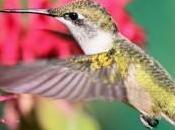 monarde fleur exellence pour attirés oiseaux mouches