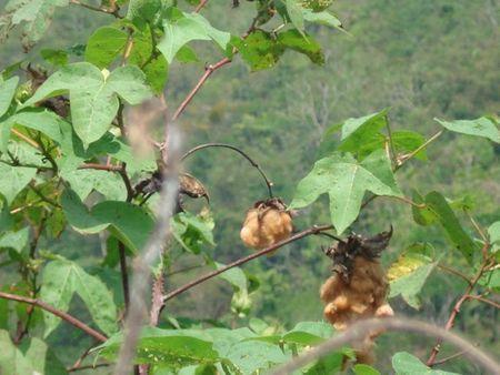 coton biologique 1