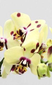 nouvelles vari t s d 39 orchid es phalaenopsis paperblog. Black Bedroom Furniture Sets. Home Design Ideas