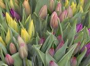 C'est saison tulipes