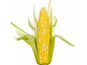 Nouveau moratoire pour février mais transgénique Monsanto