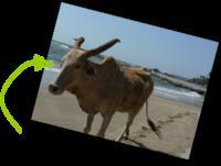 Vaches_sur_la_plage_5