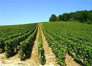 Les Vignes de Champagne