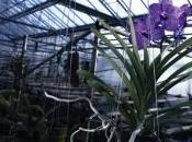 Orchidée Impériale série continue