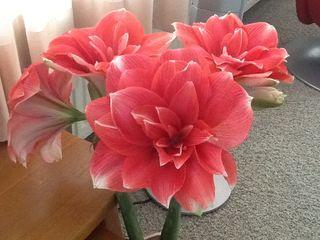 La culture des amaryllis voir for Amaryllis culture