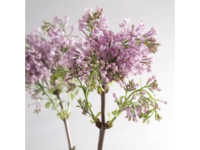 5 conseils pour conserver le lilas ou syringa en fleurs coup es paperblog. Black Bedroom Furniture Sets. Home Design Ideas