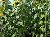 Semis tournesols géants j'offrirai plantons.