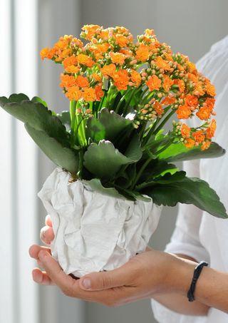 5 conseils pour votre kalancho ou calandiva paperblog - Plante a fleur jaune 6 lettres ...