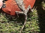 petit lézard trouvé Indonésie dragons sont bien...