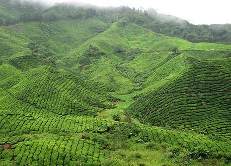 malaisie_cameron_highlands_0064