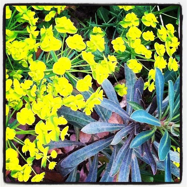 L euphorbe enchante les jardins d ombre et de lumi re paperblog for Jardin ombre et lumiere