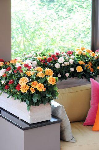 4 conseils pour votre rosier en pot lire - Arbuste pour terrasse plein soleil ...