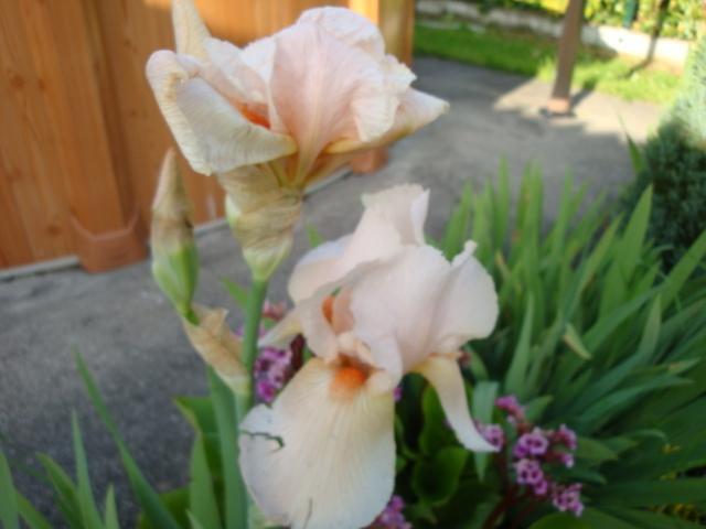 Collection d iris rose mauve jaune bleu noir multicolore - Iris ne fleurissent pas ...