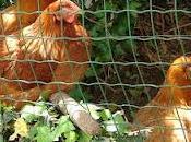 poules rousses...