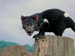 Cancer épidémique - Le diable de Tasmanie en voie d'extinction