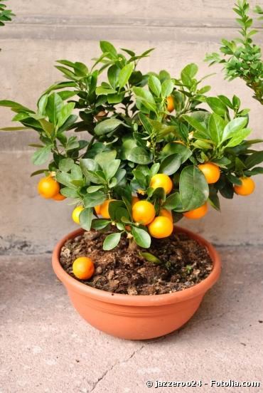 des arbres fruitiers nains pour r colter ses fruits bio sur son balcon paperblog. Black Bedroom Furniture Sets. Home Design Ideas