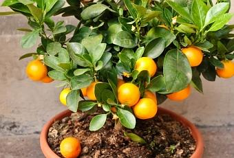 des arbres fruitiers nains pour r colter ses fruits bio. Black Bedroom Furniture Sets. Home Design Ideas