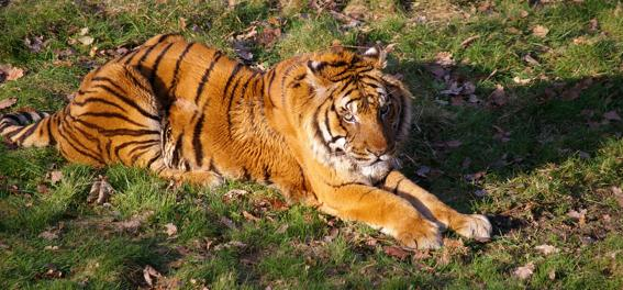 Tigre Thoiry Caractère Original Best Western Une journée autour de Paris pour émerveiller vos enfants