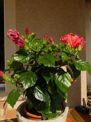 Hibiscus exterieur en pot 28 images hibiscus for Entretien hibiscus exterieur