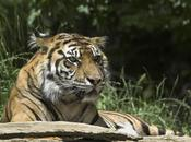 tigres Birmanie, victimes collatérales guerre civile