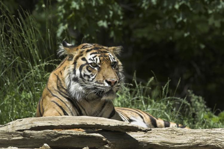 Tigres de Birmanie