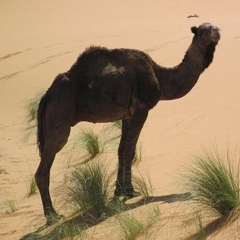 ce chameau n'a qu'une bosse, c'est donc un dromadaire.