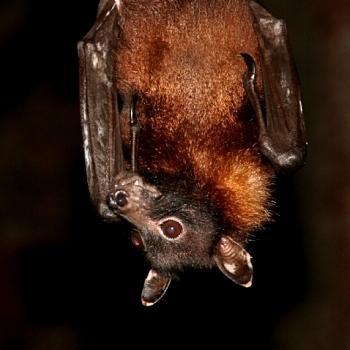 on peut voir les grands yeux de cette chauve-souris de la famille des